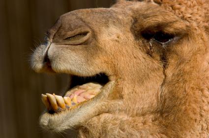 Camel Breath